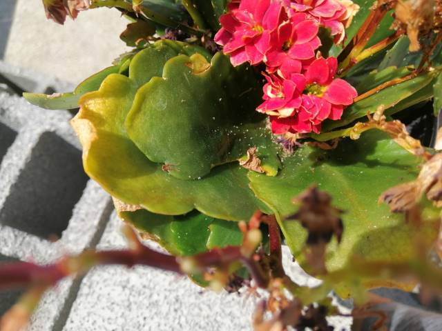 kalanchoe blostefiana problems (5)