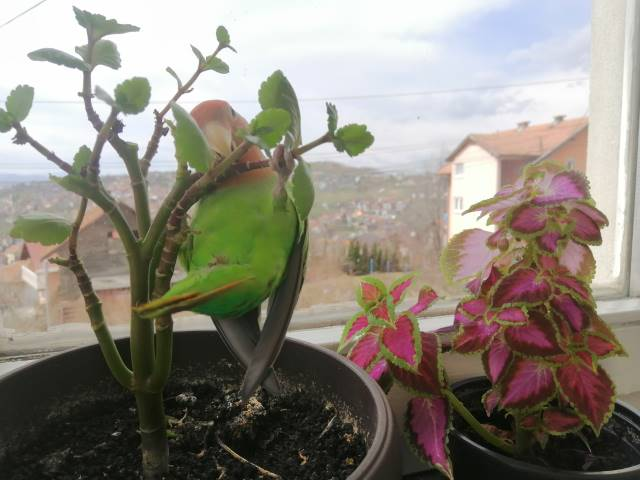 kalanchoe with parrot